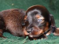 AKC & CKC Miniature Dachshund Puppies 1 female and 3