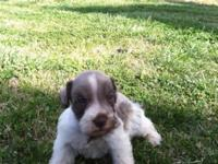 AKC/CKC signed up Baby Schnauzers that will await there