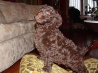 We are supplying CKC multi-generation labradoodle