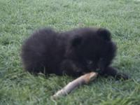 Beautiful, Toy Pomeranian Puppies hand raised, home