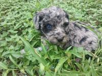 GORGEOUS STUNNING MOYEN SIZED POODLE: SHE IS 100 %
