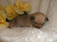 *MALACHI* Double Reg. Champion Bloodlines Teacup Apple