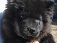 WE HAVE TWO FUN LOVING CHOW MALES ONE BLACK AND ONE