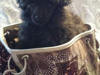 Meet Camo Kisses! An AKC and CKC Reg Male Toy Poodle