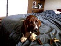I have a 2 year old Red/White AKC male Basset Hound. He