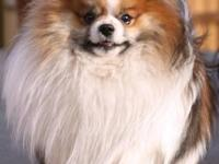 Gus is a gorgeous orange sable parti male pomeranian.