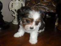 AKC/CKC Registered Teacup/Small plaything Yorkies.