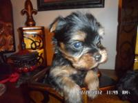 REGISTERED CHOCOLATE FEMALE YORKIE PUPPIES. ADULT WT