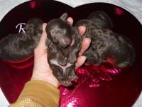 AKC & CKC (double registered) Toy Poodle Puppies.
