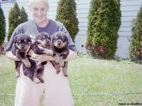 Champion Bloodline Rottweiler Puppies,Liter is due May