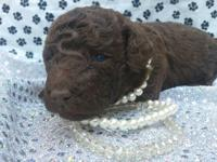 BEAUTIFUL SOLID DARK CHOCOLATE MALE STANDARD POODLE