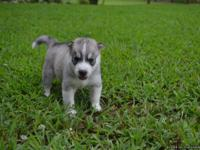 We have 6 beautiful full-blooded Siberian Huskies that