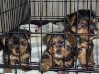 I have a little male yorkie puppy that will be ready to