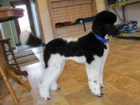 AKC/CKC/UKC STANDARD POODLE PUPPIES, males and females,