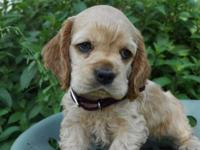 Beautiful cocker spaniel puppies available to the right