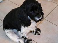Morgan is 3yr old purebred American Cocker Spaniel. She