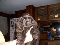 I have a AKC female chocolate cocker spaniel puppy. She