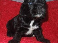 Gorgeous little black Cocker Spaniel puppy, male, born