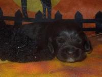 Gorgeous chocolate Cocker spaniel boy, born on Oct. 19