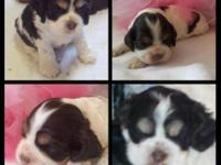 Akc Cocker Spaniels born upon 12-18-2014. They are born