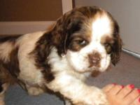 AKC Cocker Spaniel Puppies!!! Only one chocolate and