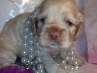 Three AKC reg. cocker spaniel puppies for sale. Date of