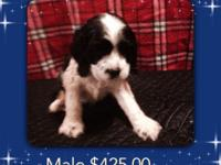 Akc Cocker Spaniel puppies 3 males @ $425.00 each tails
