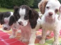 I have 3 Akc registered Cocker Spaniel puppies for