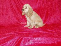AKC Cocker Spaniel Puppies from Champion Lines. These