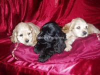 AKC Cocker Spaniel Puppies born on 8/13/2015. These