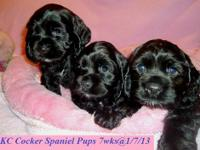 AKC Cocker Spaniel Puppies- 8 wks old, 1st shots, de
