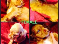 AKC signed up cocker spaniel puppies 1 blonde blue eyed