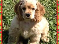 AKC American Cocker Spaniel Male puppy. Buff in color.