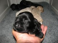 Black AKC Cocker Spaniel Puppy. Born on February 4,