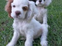 AKC registered Cocker Spaniel puppy for sale with full