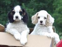 AKC signed up Cocker Spaniel dogs. Born upon 4/29/14.