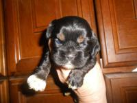 AKC black cocker spaniel puppies-born August 11-will be