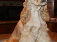 "AKC Cocker Spaniel ""SILVER BUFF"" Female. Just over 3"