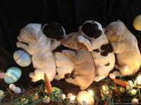 We have available 5 cocker spaniels born January 19th