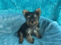 Yorkshire Terrier (Yorkie) small male puppy. Col was