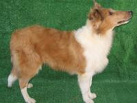 AKC normal - eyed collie puppies, DOB 6/02/14,