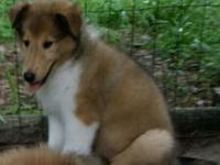 AKC Rough Coat Collie puppies. Just like Lassie. 8