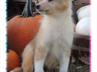 Silvermist is a gorgeous sable merle, female collie.