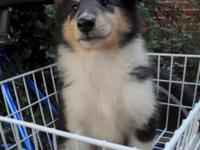 """Maid Marian"" is a tri color, female collie. DOB"