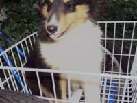 """Skippy"" is a tri color, male collie. DOB 06/02/2014."