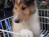"""Tagalong"" is a sable, female collie. DOB 06/02/2014."