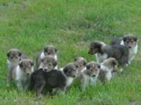 AKC Male and Female Collie Puppies(similar look to