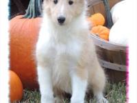 Rosetta is a gorgeous sable merle, female collie. Birth
