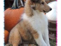 Vidia is a gorgeous sable, female collie. Birth date