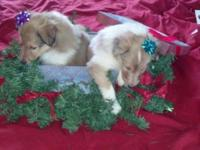 My buddy has these fantastic AKC signed up collies for